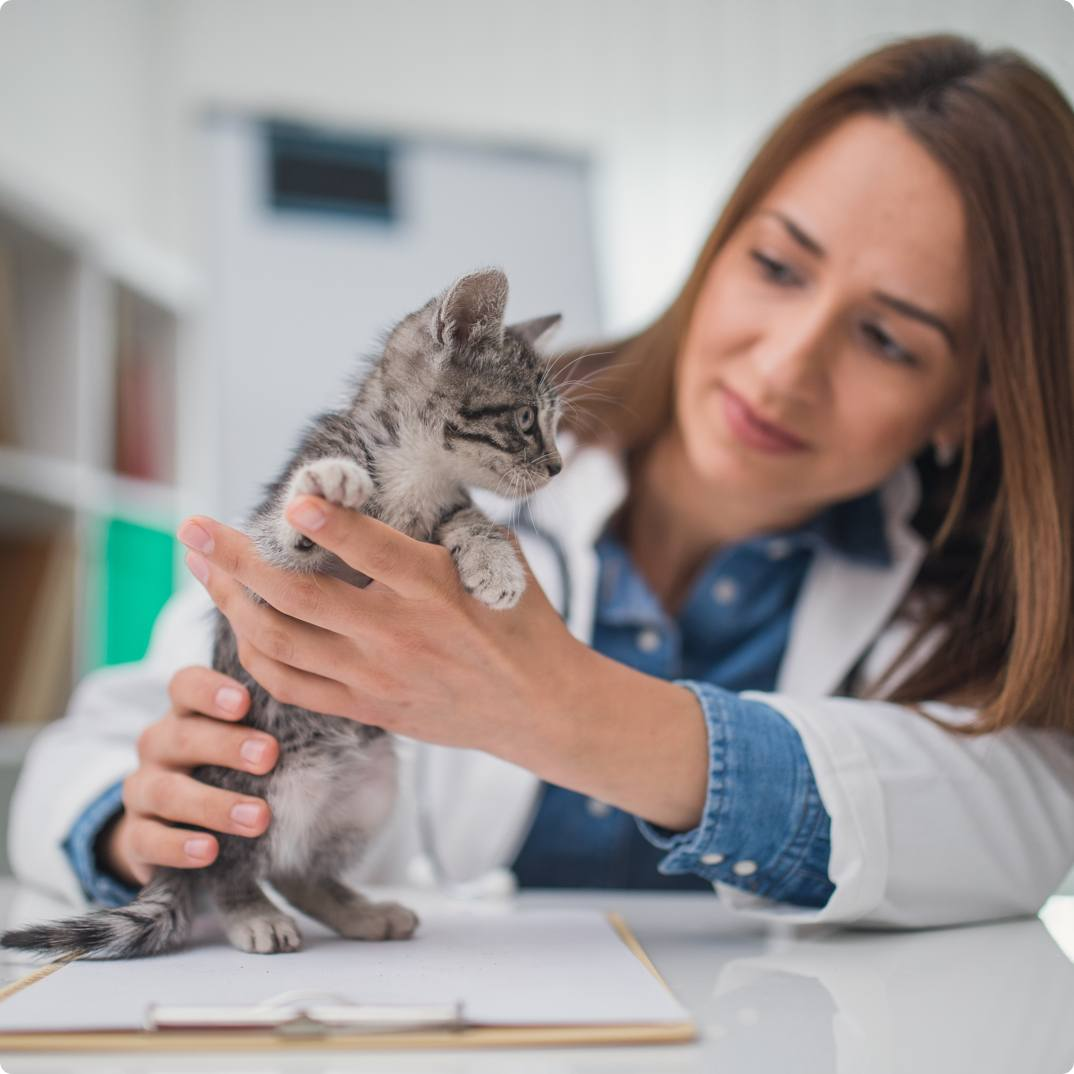 Female Veterinarian examining young kitten
