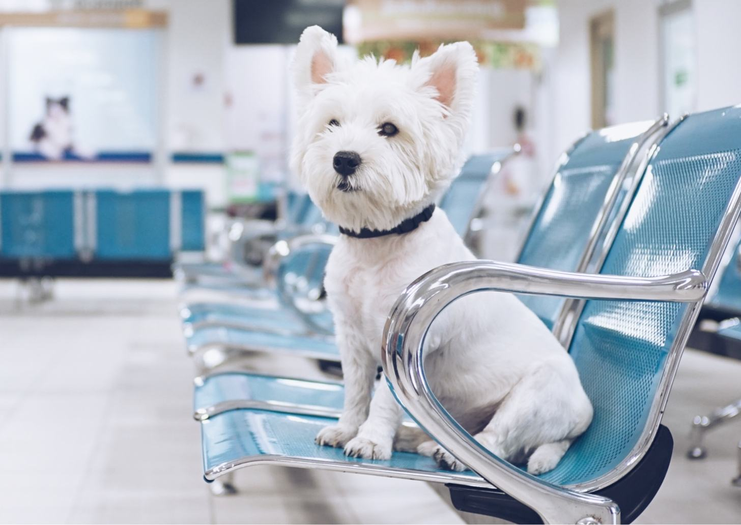 White terrier sitting on a blue chair